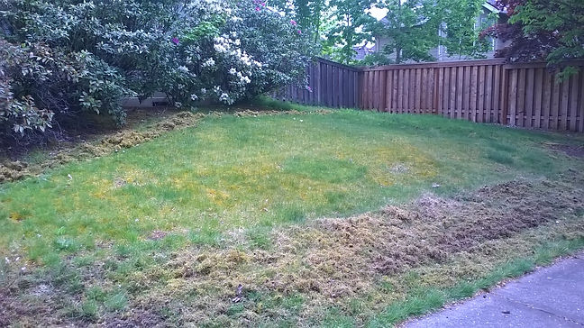 Removing moss from a lawn.