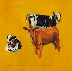 Cow ocher