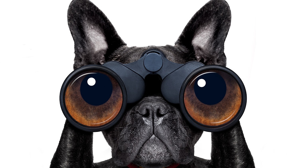 Boston terrier using binoculars