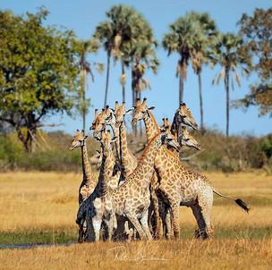 A tower of giraffe. Photograph by Petr B