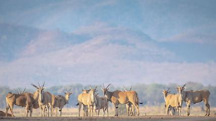 Eland on the Chikwenya Concession .jpg