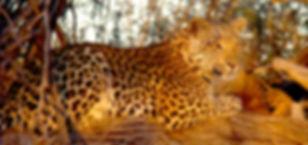 Lynns Leopard 02.jpg