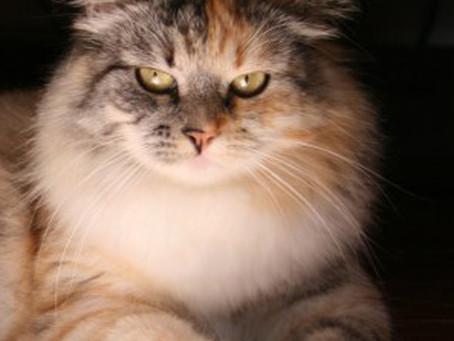 Il siberiano, l'unico gatto ipoallergenico