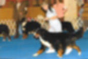 dog show Prairiefire bernese mountain dog moving