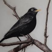 """Blackbird of Glenmore"""