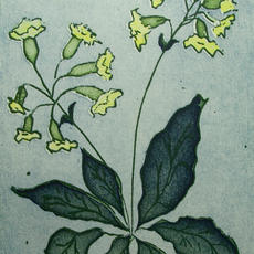 """""""Cowslip"""", Etching, Edition of 25, 20 x 30cm, Margaret Becker"""