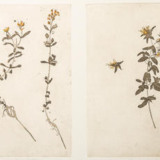 Hypericum Canadense, etching, edition of 20, 20 x 15cm x 2, Margaret Tuffy