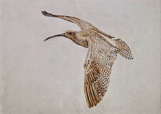 Curlew 1