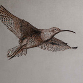 """""""Curlew 2"""""""