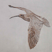 """""""Curlew 1"""""""