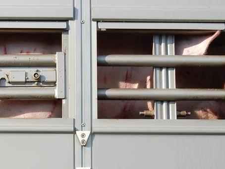 Verletzte Schweine auf Tiertransporter: Ermittlungsverfahren eingestellt