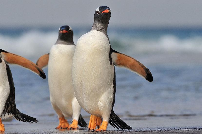 22 Nights Falkland - South Georgia - Elephant Island - Antarctica - Polar Circle