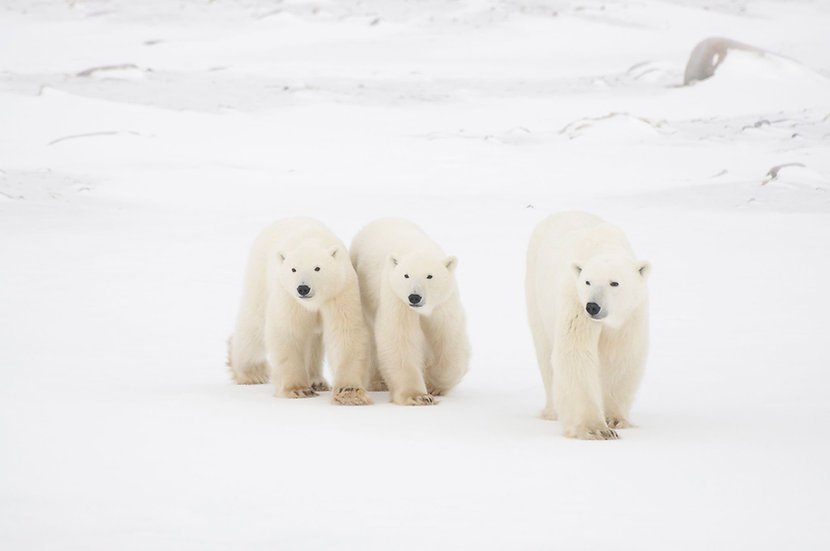 7 Days Polar Bears Conservation Journey (Land)