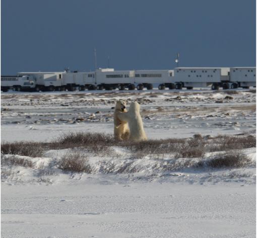 8 Days Classic Churchill Polar Bear Adventure By Train (Land)
