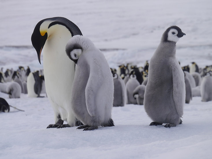 10 Nights Weddell Sea - In search of the Emperor Penguin incl. helicopters