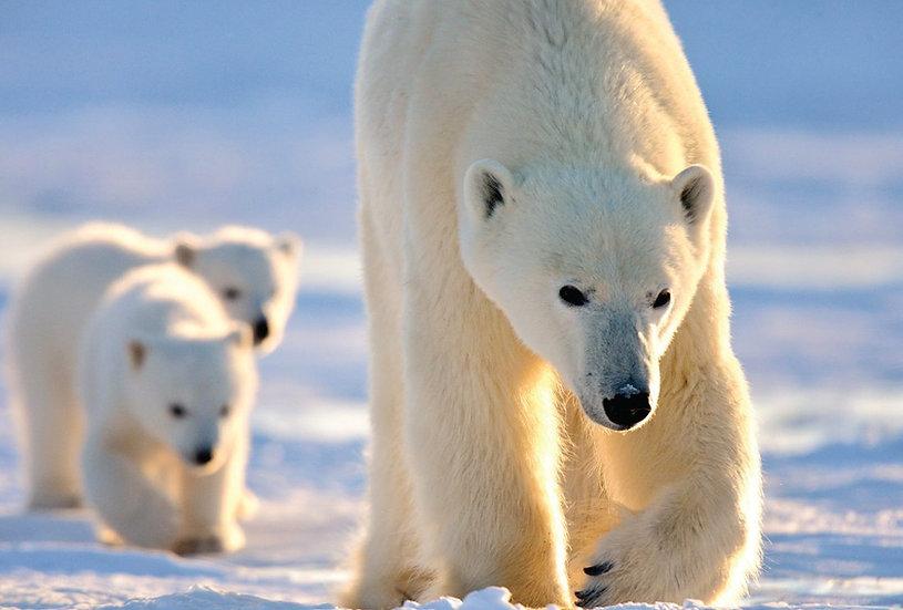 10 Days Polar Bear Mother & Newborn Cubs Safari (Land)