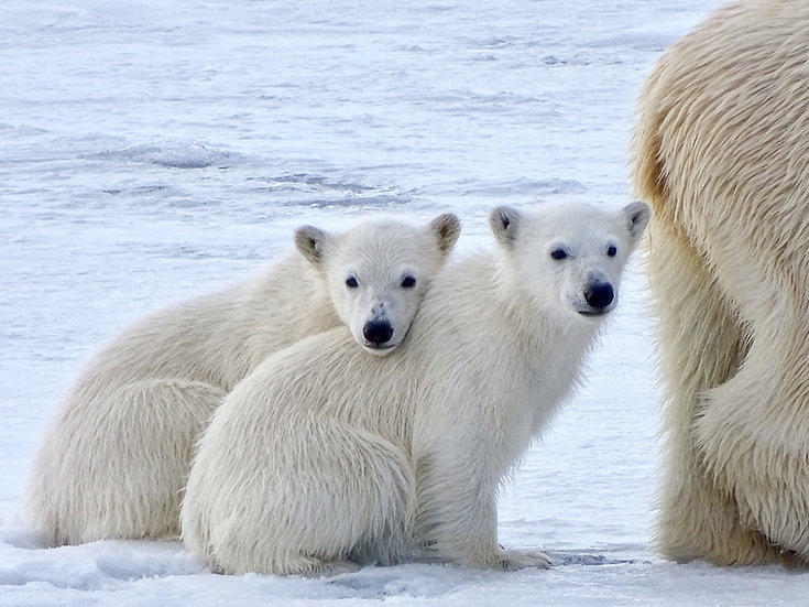 7 Nights North Spitsbergen, Polar Bear Special