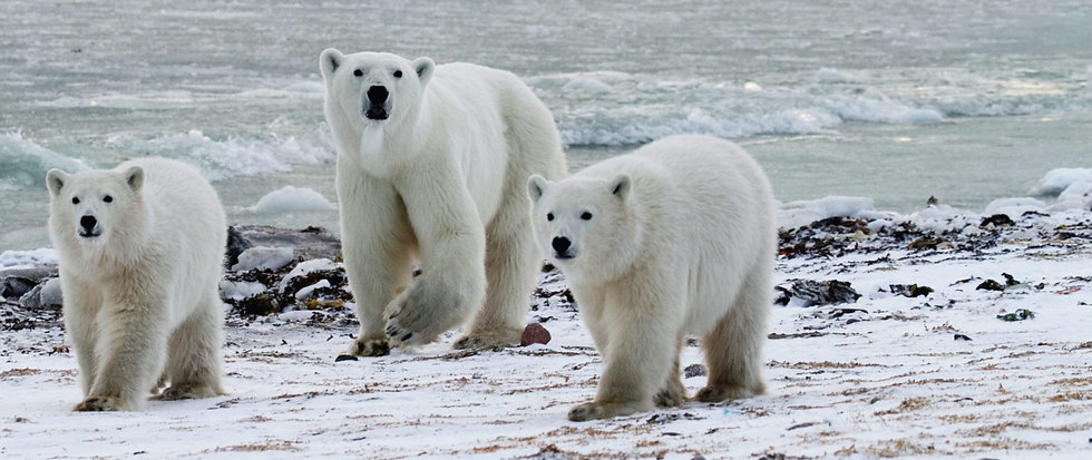 6 Days Nanuvik Polar Bear Cabin Migration Safari (Land)