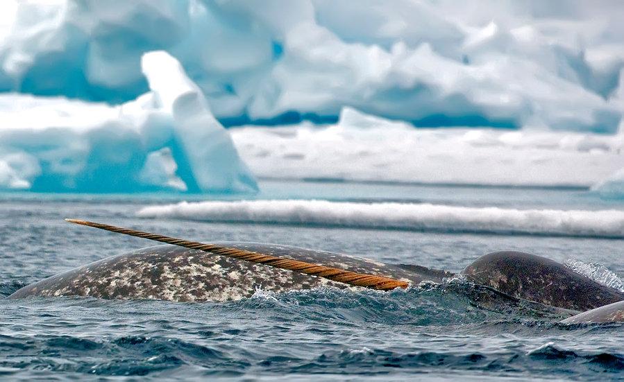 8 Days Narwhal & Polar Bear, A Floe Edge Safari (Land)
