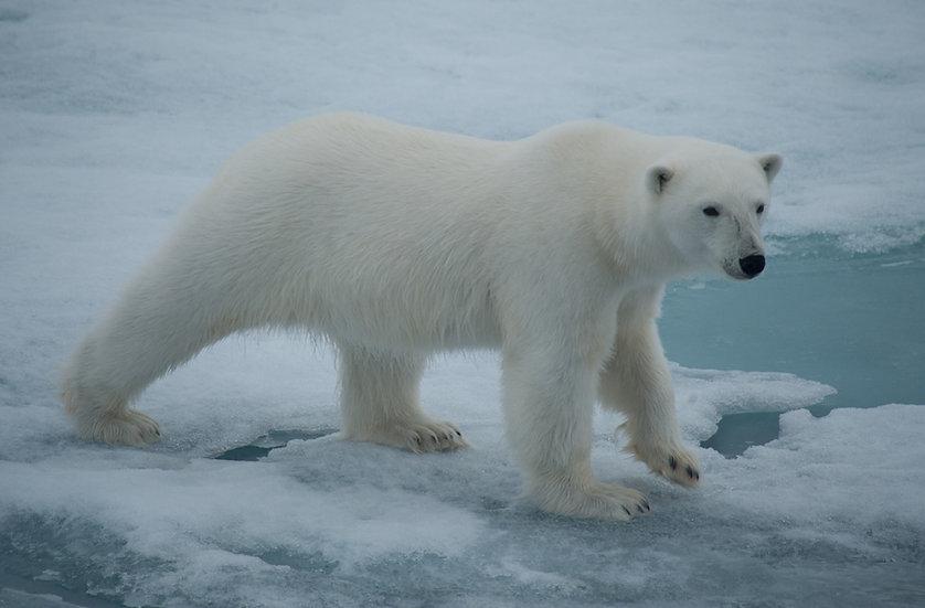 8天北斯匹次卑尔根北极熊之游