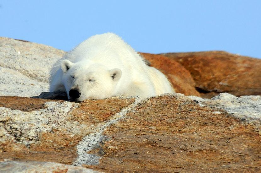 7 Days Polar Bear and Glaciers of Baffin Island (Land)