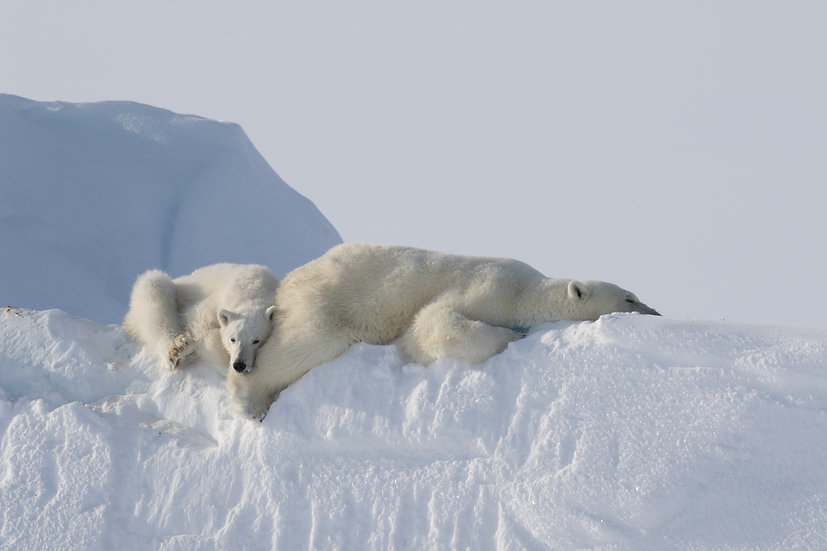 9 Days Spring Polar Bears & Icebergs of Baffin Safari (Land)