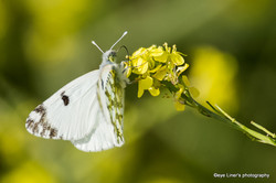 papillon noirmoutier
