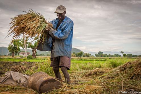 Agriculture,du riz,Johnson Sabin