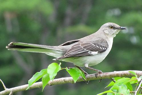 Northern Mockingbird Servitor