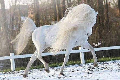 Lentirre, Male Daydream Stallion
