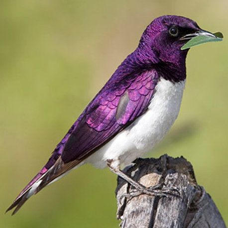 Voilet-Backed Starling Songbird Servitor