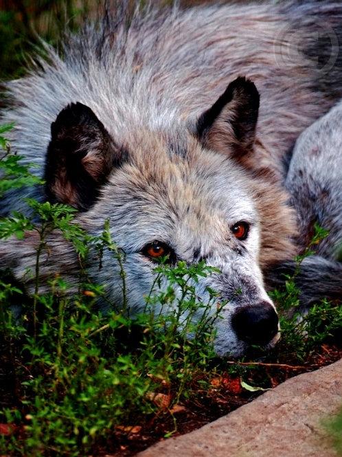 Faidrian, Male Deep Realm Wolf