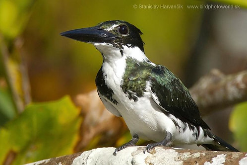 Amazon Kingfisher Servitor