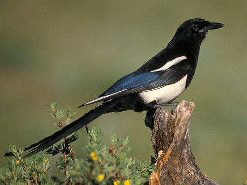 Black-Billed Magpie Servitor