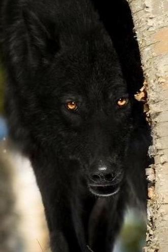 Evolen, Male Hell Hound