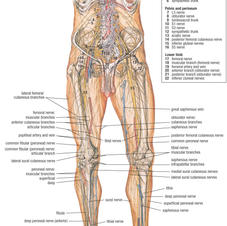 Nervous system lower limb