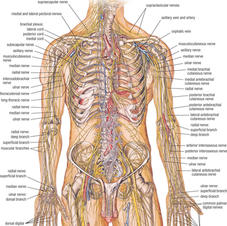 Nervous system thorax