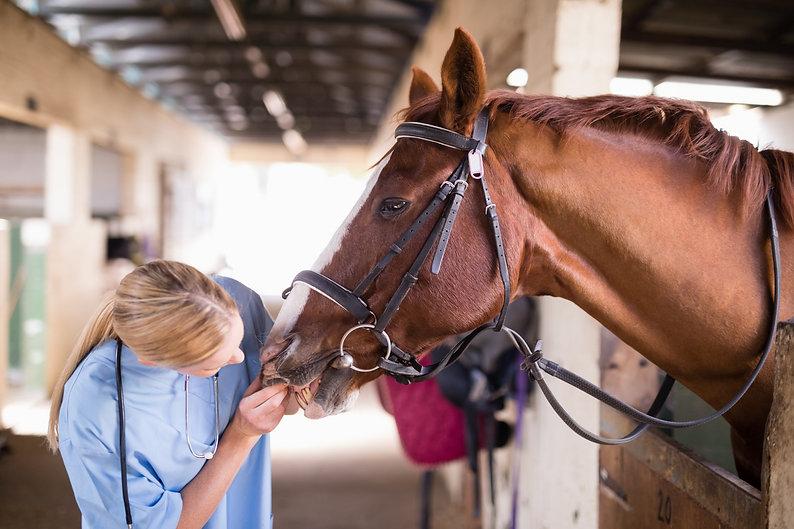 Female vet checking horse teeth while standing in stable.jpg