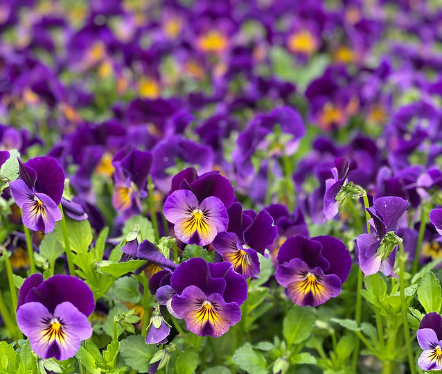 pansies_edited.jpg