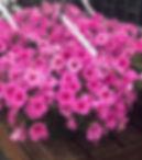 Pink wave petunia hangers 💕