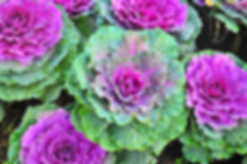 A flower of green and purple cabbage to
