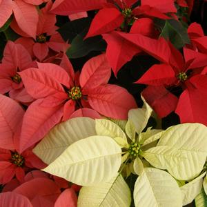Poinsettias_red-white-pink.png