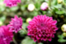beautiful mum flower in garden.jpg