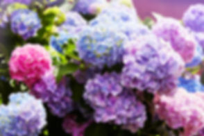 Pink, blue, lilac, violet, purple Hydran