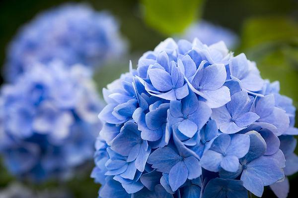 blue hydrangea.shal low DOF.jpg