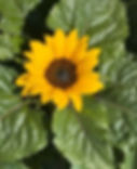 Patio Sunflower