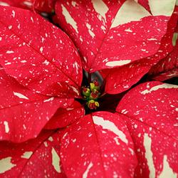 Poinsettias_sonora-white-glitter.png