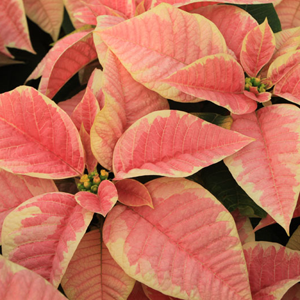 Poinsettias_marble-star.png