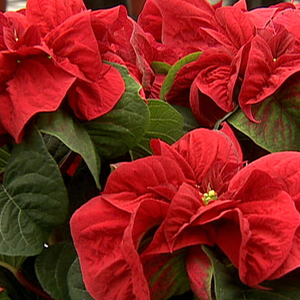 Poinsettias_winter-rose.png