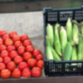 Farm fresh tomatoes and sweet corn avail